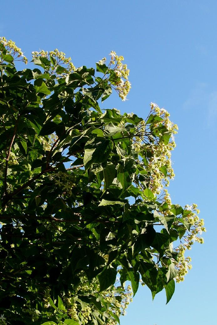 Japanischer Losbaum Clerodendrum Trichotomum